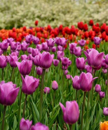 Purple and Red Tulips in spring Garden Bed