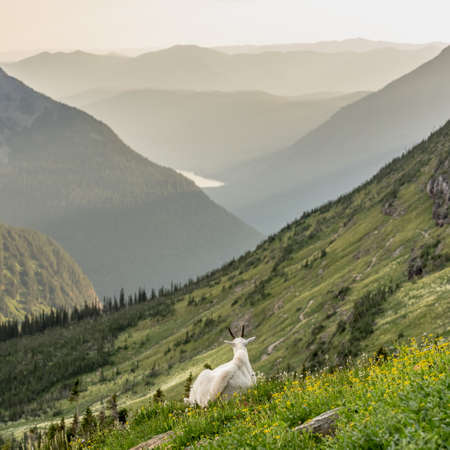 Sunset Warms The Mountain Side over sitting mountain goat