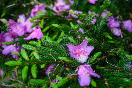 Rhododendron Petals Fall on New Pine Growth in Appalachian mountains 免版税图像