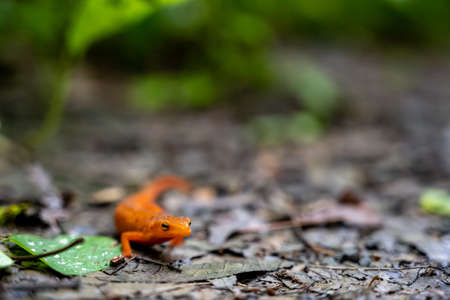 Red Spotted Newt pauses on muddy trail