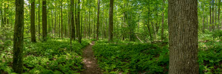 Fern Gully Forest Panorama over trail in Great Smoky Mountains National Park