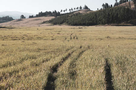 Thin Strips of Trail Through Field in Yellowstone National Park