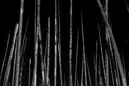Waiting for Fall. Image of bare trees waiting to fall down after forest fire damage in black and white.