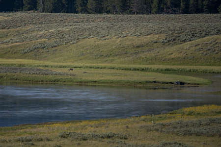 Wolf Stands on Island in Bend of Yellowstone River in Hayden Valley