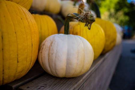White Pumpkin in row of Yellow Pumpkins in outdoor market 免版税图像