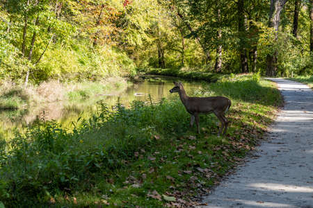 Deer Heads Toward River along Towpath Trail in Cuyahoga Valley National Park
