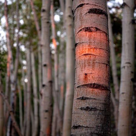 Dawn Casts Light on the Aspen Forests of Great Basin National Park Standard-Bild