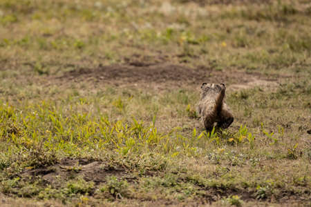 Badger Trots Across Field of Prairie Dog Town in Wind Cave National Park Standard-Bild