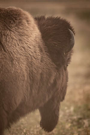 Back Profile of Bison Head Walking in dusty field