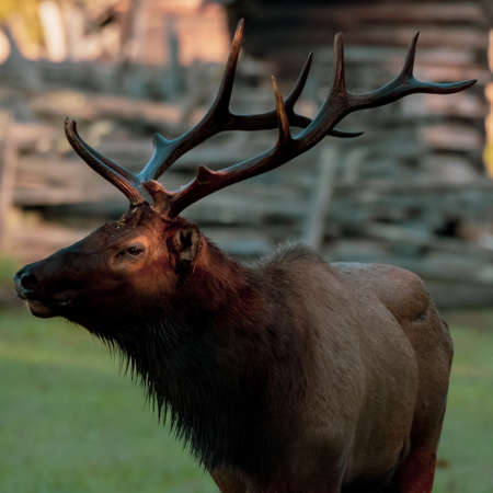 Profile of Bull Elk With Sunlight On Eye in Great Smoky Mountains National Park Standard-Bild