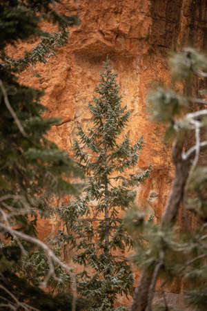 Snow Dusted Pine Tree Pops Out Against Orange Cliff Walls in Bryce Canyon National Park