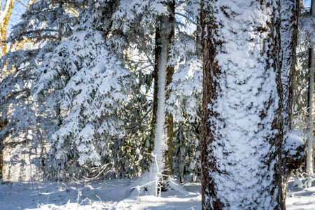 Snow Sticks to The Side of Trees in the Smokies Standard-Bild