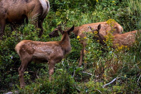 Spotted Elk Graze Along Mountain Slope in Yellowstone Standard-Bild