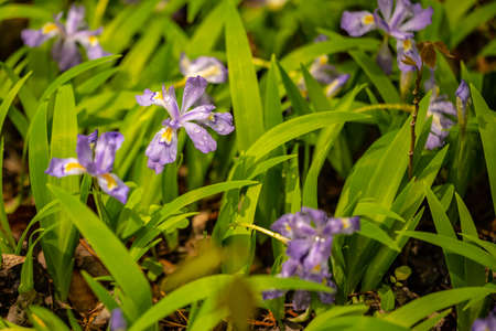 Rain Drops Cling to Crested Dwarf Iris In Spring along the Beard Cane Trail in Great Smoky Mountains National Park Stock Photo