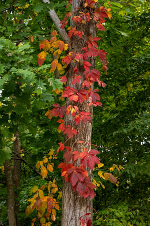 Red Leaves on Ivy Twist Up Tree in Cuyahoga Valley National Park