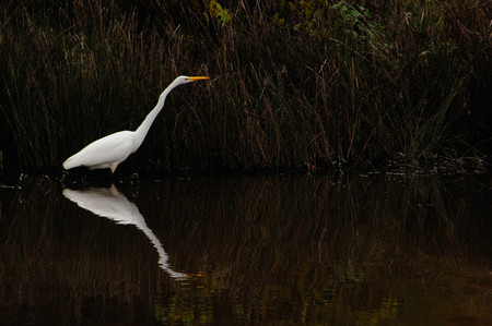 Great White Egret Fishing in Arkansas Lake With Reflection Banco de Imagens