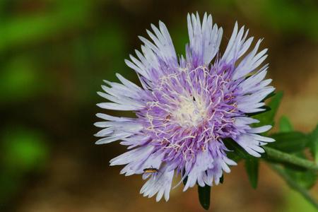 Purple Cone Flower Blooming in Garden Stock Photo