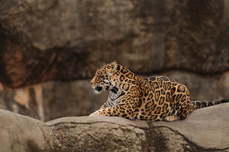 Large Jaguar restgin on Rock in Zoo