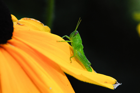 Green Grasshopper Sitting on yellow petal of Rudbeckia Stok Fotoğraf