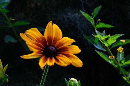 brown and yellow rudbeckia blooming in garden