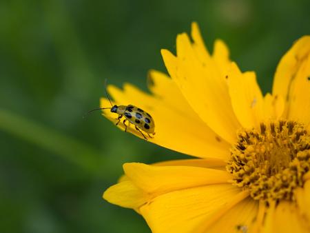 Cucumber Beetle Sitting on Yellow Flower