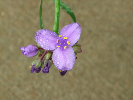 Spiderwort Blooming with Water Droplets from Rain Stock Photo