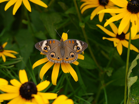 Common Buckeye Butterfly Sitting on yellow  Flower in Garden Stok Fotoğraf