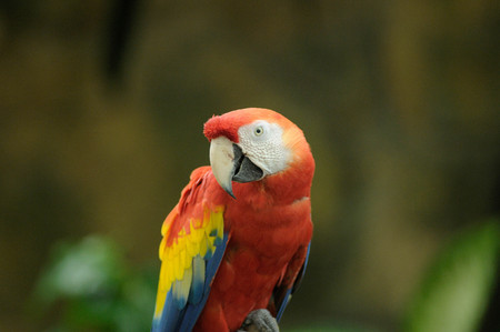 Isolated Red and Yellow Macaw Sitting on Perch in Garden