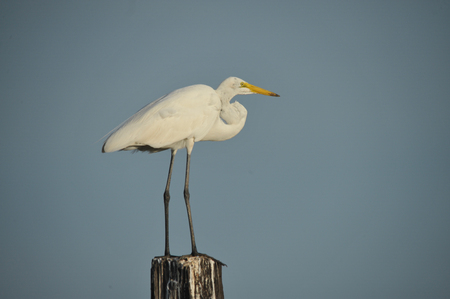 White Egret Standing on Wood Pole Looking 写真素材