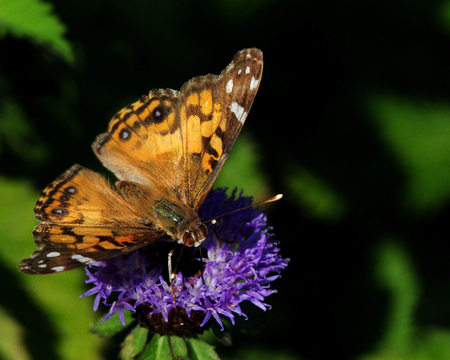 American Painted Lady Butterfly Sitting on Plant in Arkansas