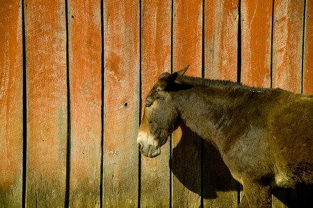 Mule Resting in front of old red Barn