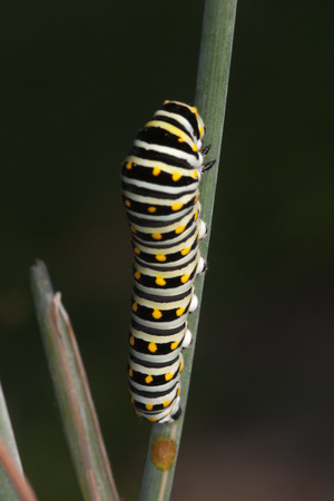 Swallowtail Butterfly Catterpillar Walking on Plant