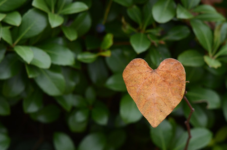 Heart Shaped Vine standing out in front of green hedge background
