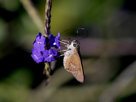 skipper butterfly with long probiscus drinking from purple flower Stockfoto