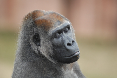 close up of gorilla with closed eyes