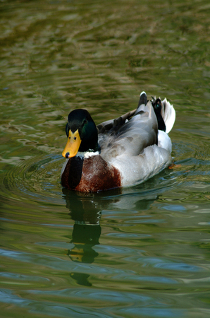 Mallard Duck Sitting in Water