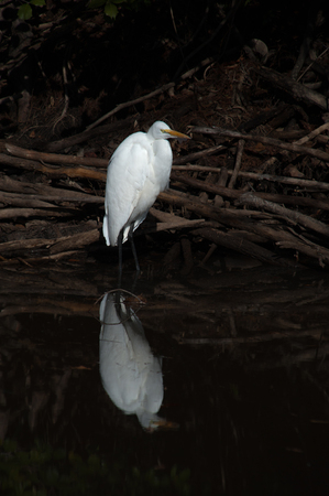 Great Egret Standing in Swamp