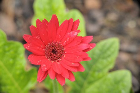 clse up of red daisy flower with rain drops Stock Photo
