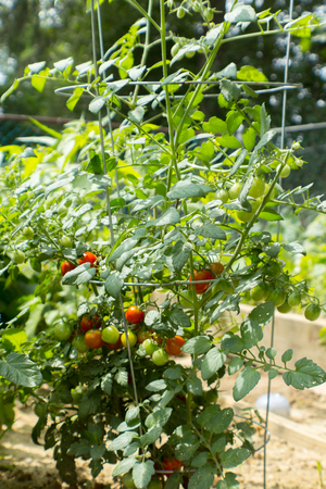 Home Grown Cherry Tomatoes in Garden Cage