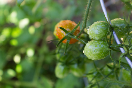 Closeup of Small Green and Red Cherry Tomatoes in Home Garden Stock Photo