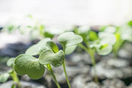 Small Young Arugula Sprouts Closeup