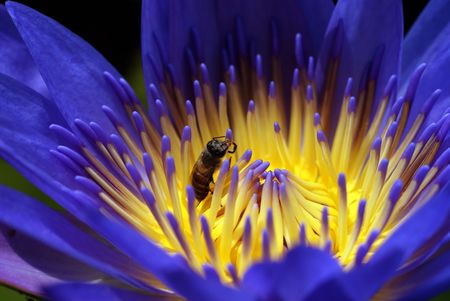 Lotus and Bee Stock Photo - 4063754