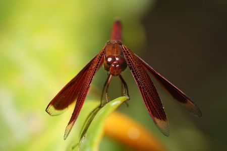 skimmer: Red Skimmer Dragonfly Stock Photo
