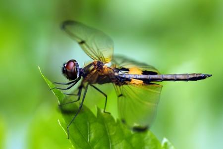 Rhyothemis phyllis dragonfly photo