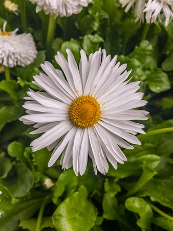 moonflower: Daisy isolated in the park Stock Photo