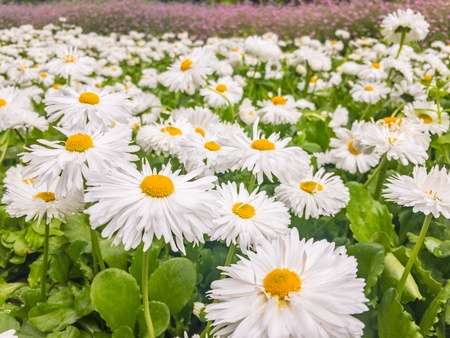 moonflower: Daisies background in the park