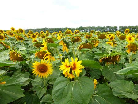 Sunflower field in the Stavropol region