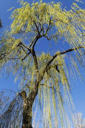 salix alba: Sight from below of a tree weeping willow with a blue sky of bottom