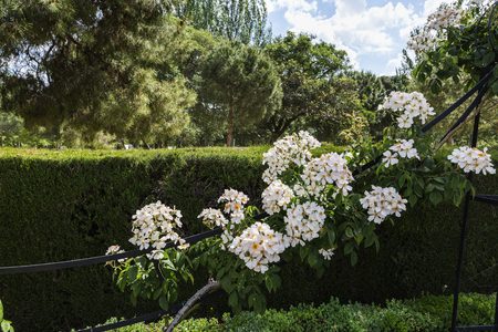 garden flowers: Rose garden in the Retiro Park in Madrid,Spain