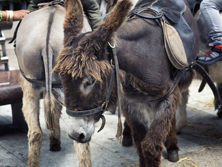 close up of burros used as a tourist attraction in town. Madrid Spain